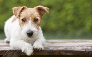 Hyperthyroidism In Dogs